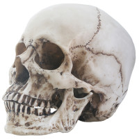 Skull Head with removable jaw